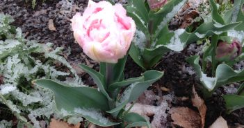 tulip-in-the-snow